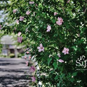 夏のある日 芙蓉の花が咲いていました