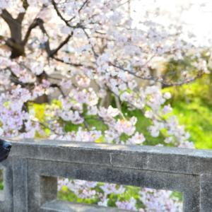 【御近所桜探訪記 @高野川界隈】 20'4/2