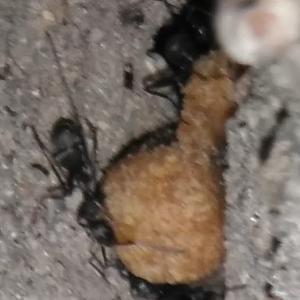 安いドッグフードを食べるクロヤマアリ