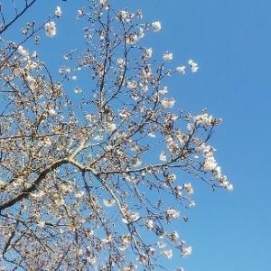 徳島県西部の桜情報とマスクの話(最新で最終的)。