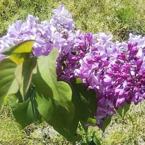 ライラックの花を愛でながら…