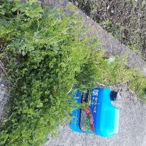 除草剤の季節です。