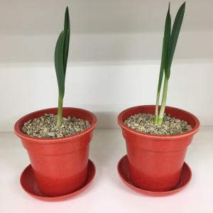 にんにくの室内栽培にLEDライトを使用