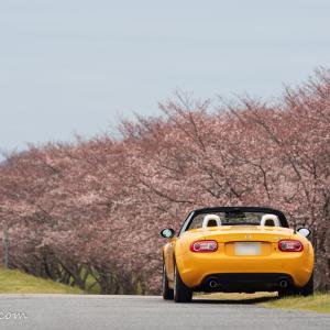 ロードスターで行く、滋賀お花見ドライブ(開花状況チェック編)