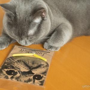 【シャルトリューと過ごす】猫のいる生活(おしゃれな首輪を買ってみた)