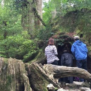2015GW明け 屋久島の旅6 ウィルソン杉