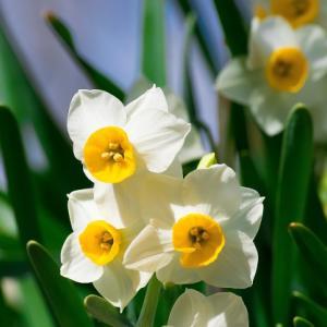 金盞香(きんせんかさく)| 七十二候 | 諸説 | 水仙| 金盞花| 新蕎麦
