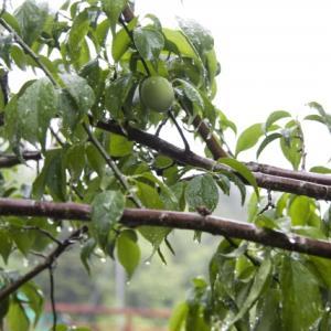 三毒を断つと言われる梅の実が色づく頃の梅子黄(うめのみきばむ)