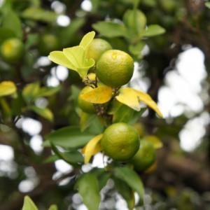 橘始黄 | たちばなはじめてきばむ | 右近の橘 | ポン酢 | 鱈 | 七十二候 | 歳時記