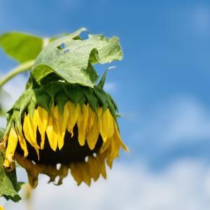 大暑 | 桐始結花 | たいしょ | きりはじめてはなをむすぶ | 打ち水 | 土用 | 鰻 | しじみ