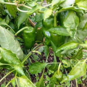 小さなお庭で家庭菜園 今日の収穫物