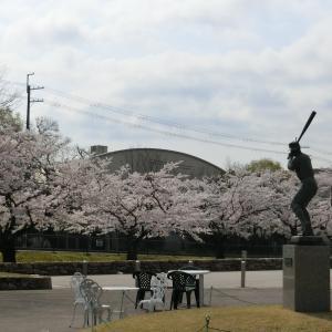今日も 桜を愛でつつ図書館へ