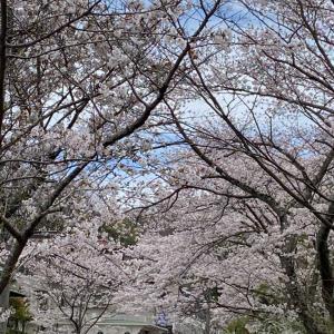 桜散らしの☔️