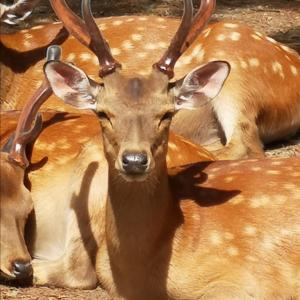 鹿は冬に向けて準備しています。鹿から貴方の家を守る方法!