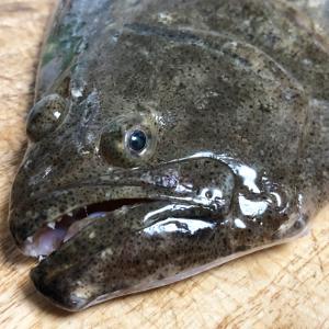 ヒラメの捕食行動と口の構造について考察。キャッチ率アップに繋がると良いなぁ・・