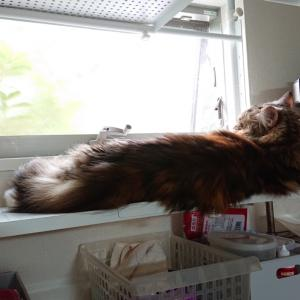 人間も猫も暑い!!そして私は歯茎が痛い…。