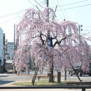 桜情報 2 白河市