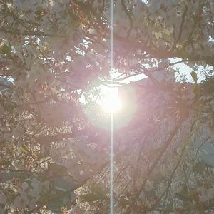 今日の桜~新横浜駅前公園