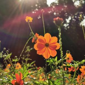 夏の始まりはコスモスから♬【小宮公園①】