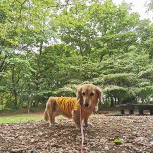 矢車草とポピーの花畑〜都立小宮公園