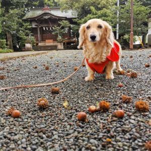 大きな丸いドングリの秋〜週詣りと高倉稲荷さま
