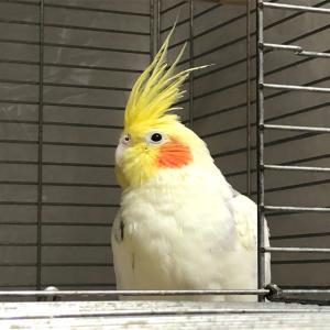 やはり、手のりインコは毎日放鳥して欲しいな〜。