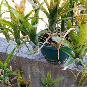 春先の寒さで傷んだネオレゲリアの葉が復活してきました