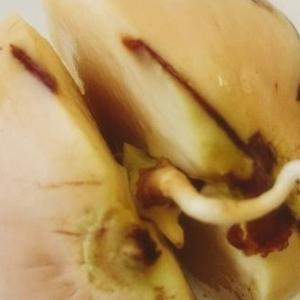 アボカドの発根を観察する