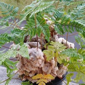 猫手シノブ(石化シノブ)の葉っぱが新しい葉に入れ替わりました