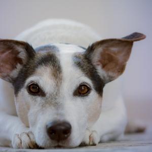 犬のおならが多い・臭くなる理由【おならを軽視してはいけません】