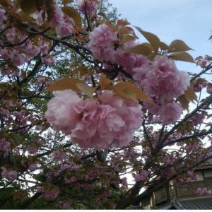 遅咲きの桜はさくら餅のよう