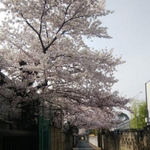今年も桜の話題を少し