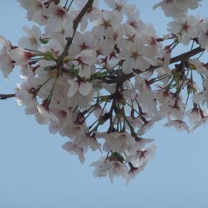 お花見行きました。