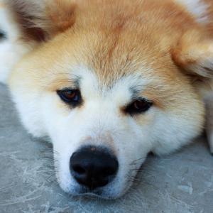 狂犬病の注射を猶予された実家の犬