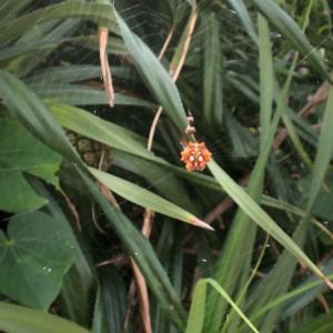 西表島のチブサツノグモ