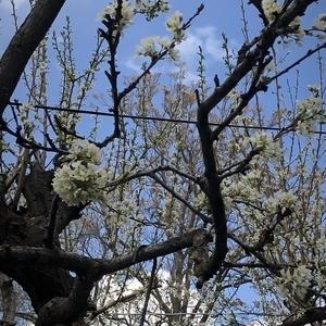 梅は~咲いたか~♪ 浮かれていたら、すっころびにゃん