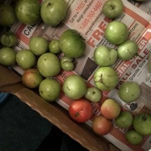 142年ぶりの大寒気に慌ててトマト収穫:スロークッカーでカニータス