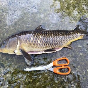 食パンで狙う神奈川・金目川の鯉釣り 釣った鯉で里山伝統の鯉こくを作ろう