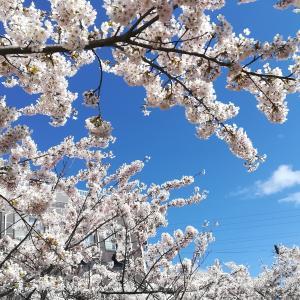 #149 車窓から桜並木サイクリングロードCherry blossom Date city北海道