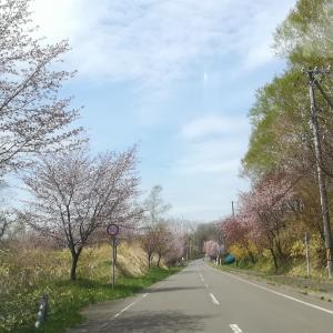 #153 うずら園前の桜並木 Cherry blossoms around Uzura-en室蘭