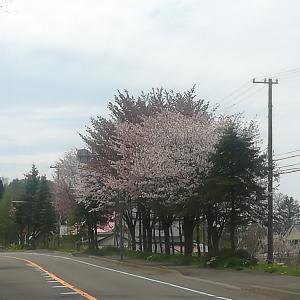 #154 室蘭石川町市道沿い桜Cherry blossoms in Ishikawa-cho室蘭