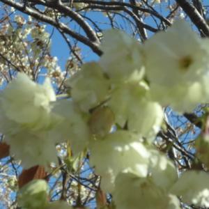 #159昨年昨日の室蘭-御衣黄桜Yellow Cherry Blossom in Muroran