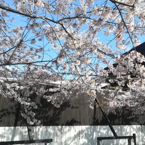 #215 DATE ONSEN北海道伊達温泉2020年5月5日露天風呂から花見とは優雅