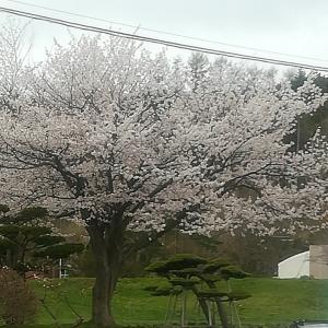 5/2セコマ壮瞥町脇の桜も良し(北海道フルーツ王国壮瞥町)
