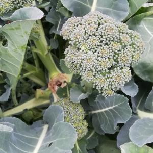 今日の野菜さんたち 2019/12/07 ブロッコリー ニンニク 茎ブロッコリー だいこん せとか