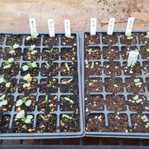 2020/02/14 野菜苗の成長記録♥️