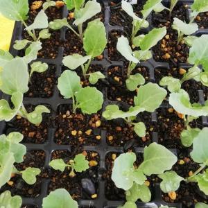 2020/02/06 野菜苗の成長記録♥️
