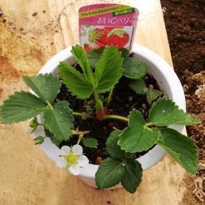 イチゴ おいCベリー の栽培