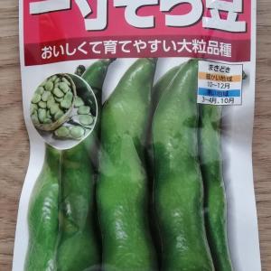 一寸そら豆の種まき