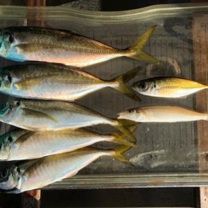 昨夜もアジ釣り、尺が1本